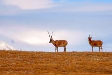 雪山脚下的藏羚羊