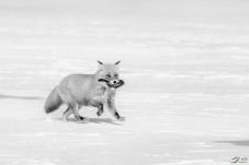 问好黑白影像版的老师们!---狐狸