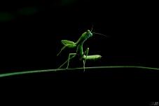 补发-螳螂起舞