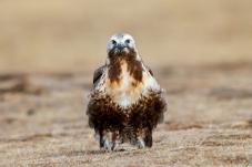 《青藏高原的猛禽》