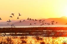 霞光与白琵鹭