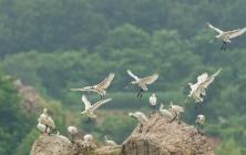 国家一级保护动物——黑脸琵鹭