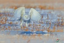 雪鸮——周日问好