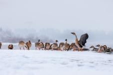 前观鸿雁踏雪舞、回看河山已隆冬--鸿雁