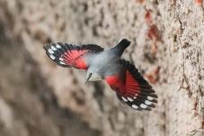 下与上的红翅旋壁雀