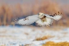 展翅——毛腿狂