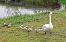 立体生态环境  引来天鹅安居