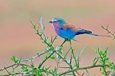 紫胸佛法僧鸟(祝贺佳作获鸟类精华!)
