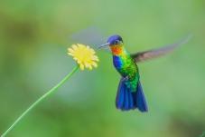 小蜂鸟.新周问好!