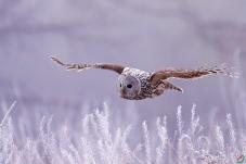 晨雾中的长尾林鴞
