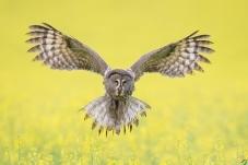 花开鸮自舞