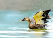 紫光鸟影:咏斑嘴鸭