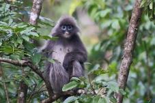 菲氏叶猴(灰叶猴滇西亚种)