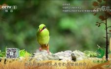央视《秘境之眼》黄胸绿鹊-20200