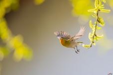 我和我的祖国  春天的火冠雀