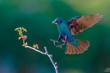 蓝耳丽椋鸟