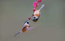 红头长尾山雀