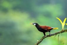 问好宁夏版的版主和老师们!---褐背拟椋鸟