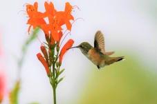 艾伦蜂鸟觅食飞行