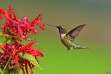 轻盈而优雅,蜂鸟。