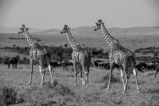 长颈鹿三兄弟