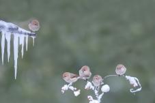 五只可爱的综头鸦雀