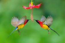 蓝喉太阳鸟