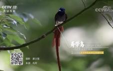 祝贺飞天虎拍摄寿带鸟素材在央视农业频道播