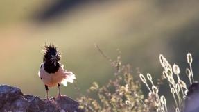 粉红椋鸟在新疆  (十四~·十八)