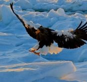 2020年2月-9天8晚 北海道拍鸟摄影之旅