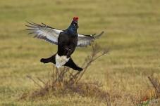 呐喊--黑琴鸡