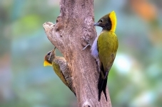 和平共处-大金背与大黄冠啄木鸟!      谢
