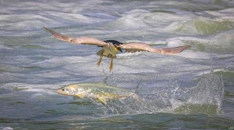 夜鹭与鱼共舞