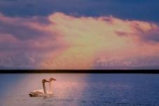 沐浴神山之光、畅游圣湖之水----大天鹅