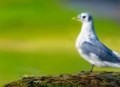 紫光鸟影:咏三趾鸥