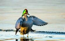 在凉水河越冬的罗纹鸭