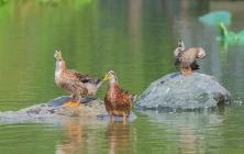 海珠湖的野鸭子