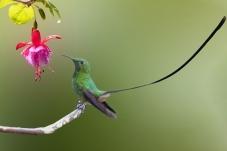 在线后期作业-南美黑带尾蜂鸟