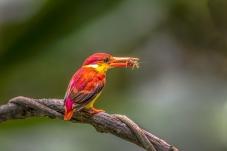 三趾翠鸟的食物
