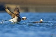 《先飞为快》-------长尾鸭