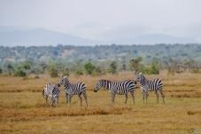 非洲草原——斑马