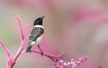 黑喉石鵖恋花