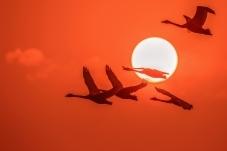 天鵝逐日飛