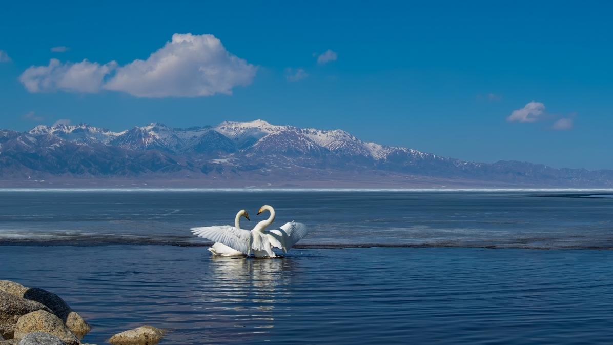 赛里木湖之天鹅舞