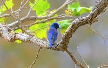 枝上东部蓝鸟