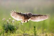扭头侧目——纵纹腹小鸮