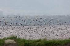 一群反嘴鹬上千只迁徙回盐湖