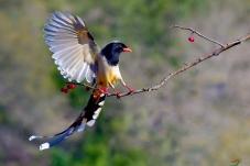 每日一鸟   红嘴蓝鹊 (613)