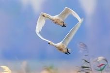 在天愿作比翼鸟(祝贺佳作获鸟类首页精华!