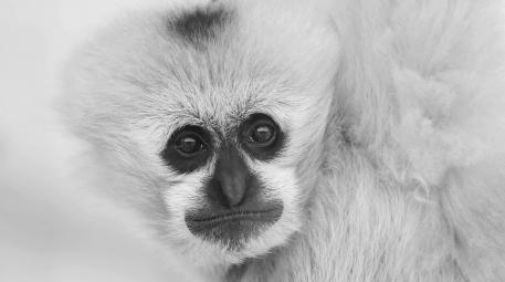 周末问好------白颊长臂猿